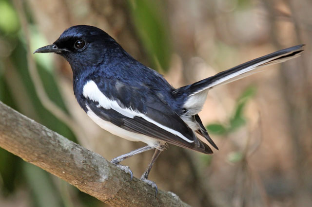 Bengal Magpie Robin